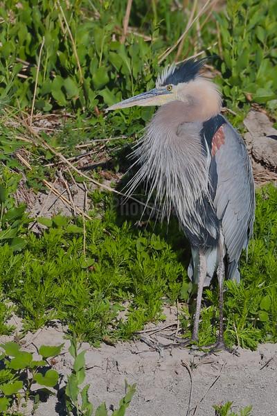 Preening Great-blue Heron