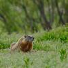 Yellow-bellied Marmot (M)