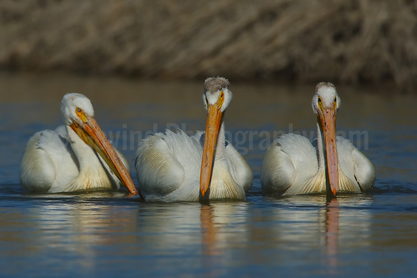 Pelican Trio Coming to Feed