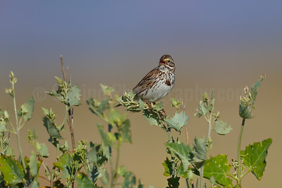 Savannah Sparrow Territorial Singing