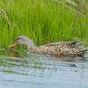 Gadwell Duck