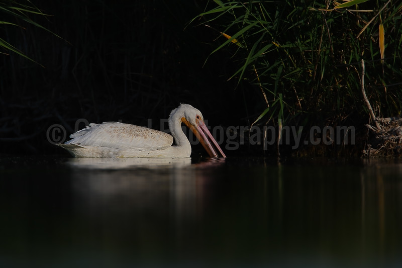 Feeding American White Pelican