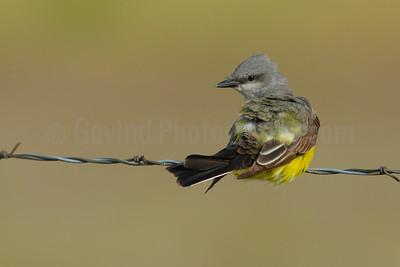 Preening Western Kingbird