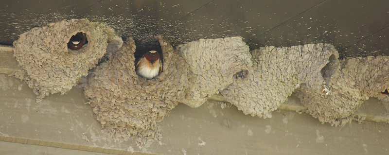 Nesting Cliff Swallows