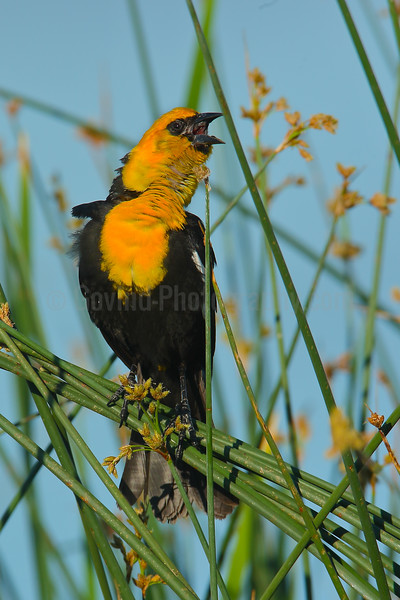 Yellow-headed Blackbird Territorial Singing