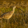 Long-Billed Curlew in Evening Light
