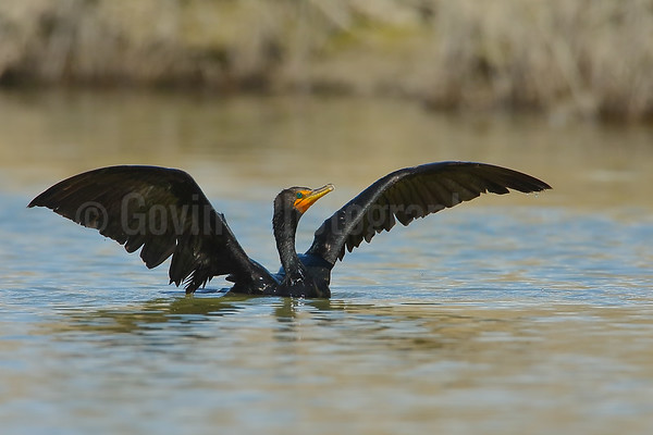 Double-crested cormorant drying wings