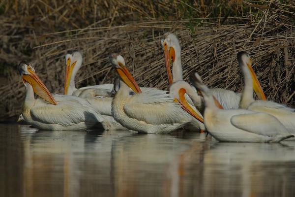 Grooming American White Pelicans