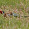 Ring-necked Pheasant in Habitat