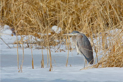 Great Blue Heron in Snow