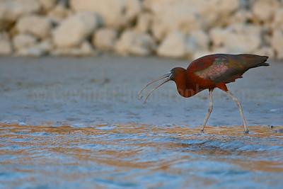 Feeding Glossy Ibis