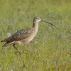 Long-biled Curlew