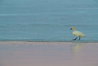 Tundra Swan in Evening Light