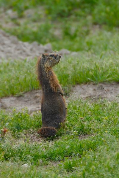 Yellow-bellied Marmot (F)