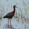 WHite-faced Ibis Profile