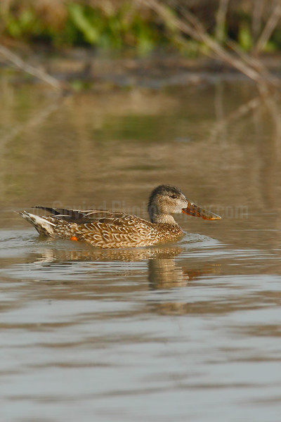 Northen Shoveler (F)