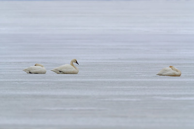 Tundra Swans Resting on Ice