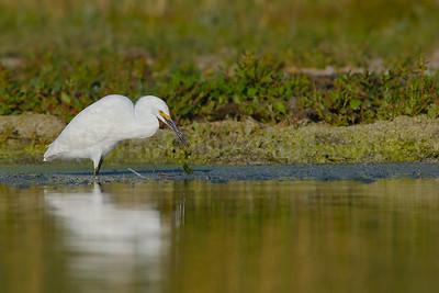 Foraging Snowy Egret
