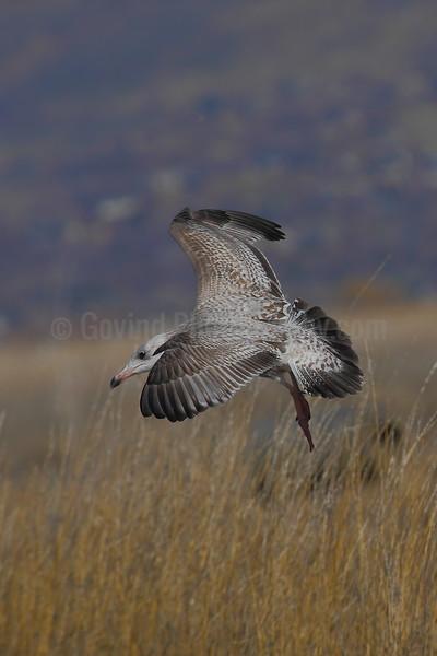 Herring Gull (Juvenile)