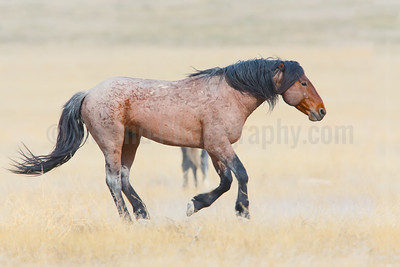 Galloping Stallion