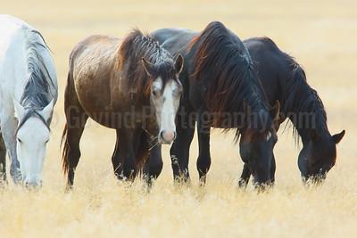 Grazing Wild Horses