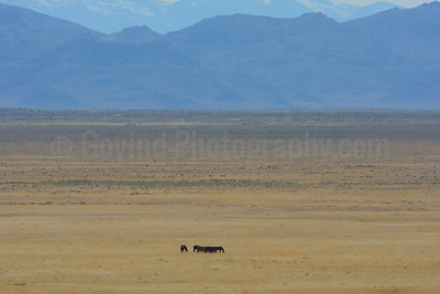 A Wildhorse Herd  on Their Range