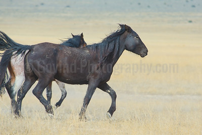 A Stallion on Run