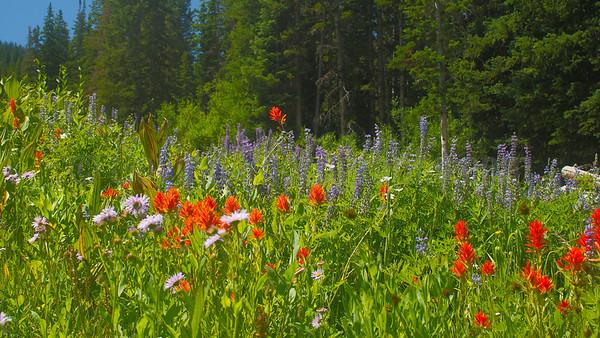 Wasatch Wildflowers