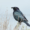 Brewer's Blackbird with Worm