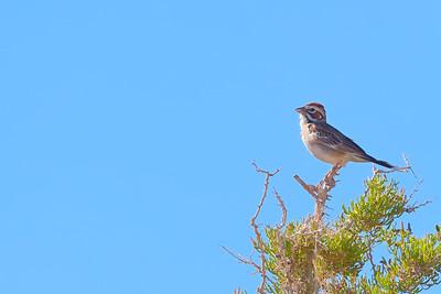 Lark Sparrow Singing