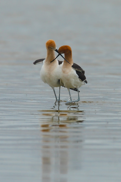 AVocets Post-mating Display