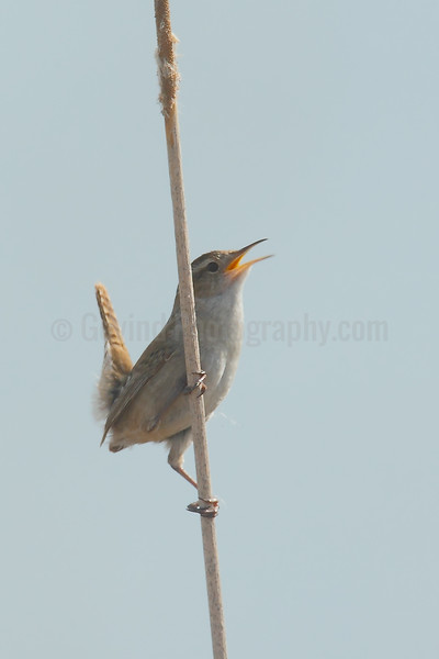 Singing Marsh Wren