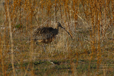 Nesting Long-billed Curlew