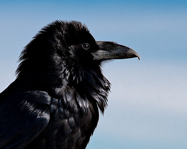 Raven - always looking for a handout from the tourist