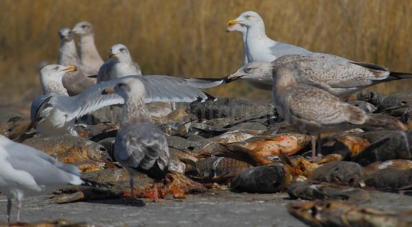 The bully: Gulls Squabble Over Carp