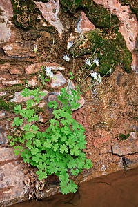 Blue Columbine around seep from sandstone wall Trin Alcove Canyon