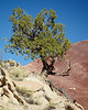 A gnarled tree in the Strike Valley of Capitol Reef National Park, Utah, USA. Taken near the Notom-Bullfrog Road.