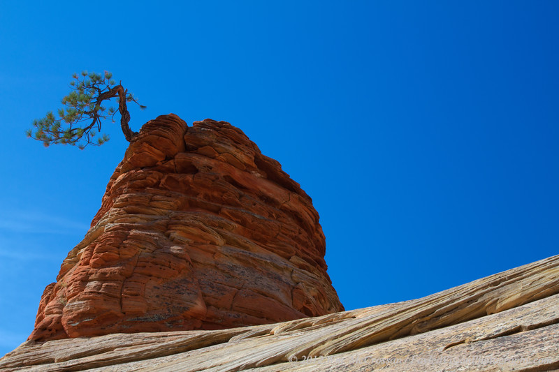 Lone Pinion Pine, Zion National Park, Utah