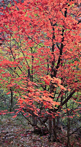 Maple color on trail to Virgin Narrows Zion, Fall 2008