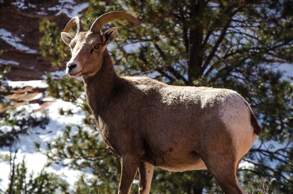 Ram in Zion
