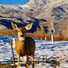 Deer at Midway