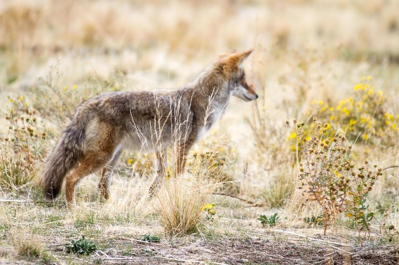 Coyote on Antelope Island