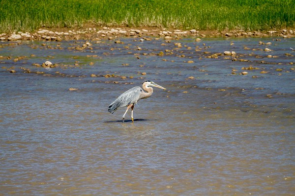 Heron in the Colorado River near Moab Utah