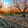 Brigham City Peach Orchard at Sunset
