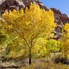 Fall Color, Capitol Reef National Park