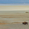 Bison, Antelope Island State Park