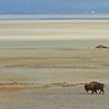 Bison, Antelope Island State Park