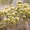 Antelope Island Brush