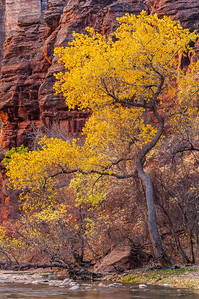 Zion Cottonwood