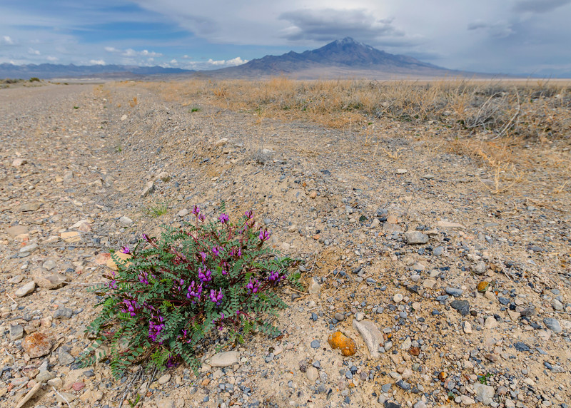 Great Salt Lake Desert Flower